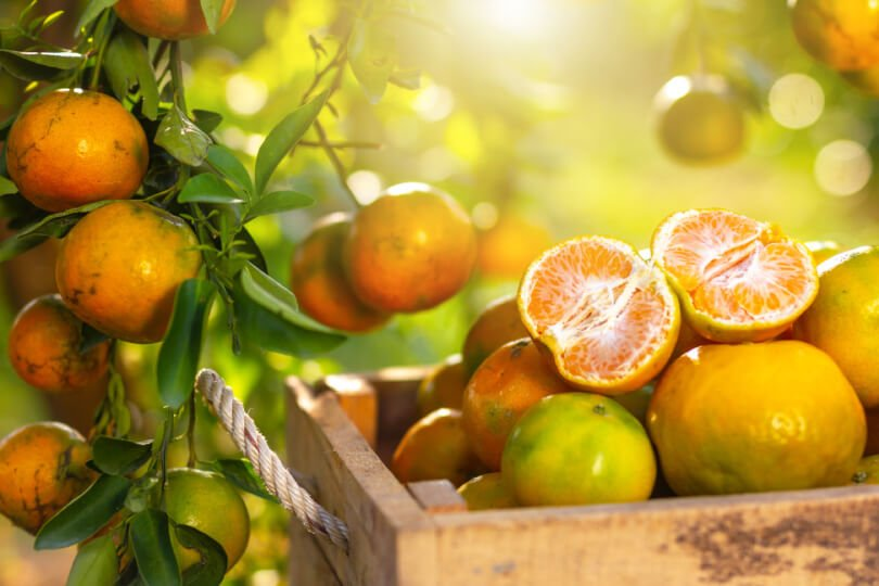 Oranges in an orchard and basket - Fruit-Powered