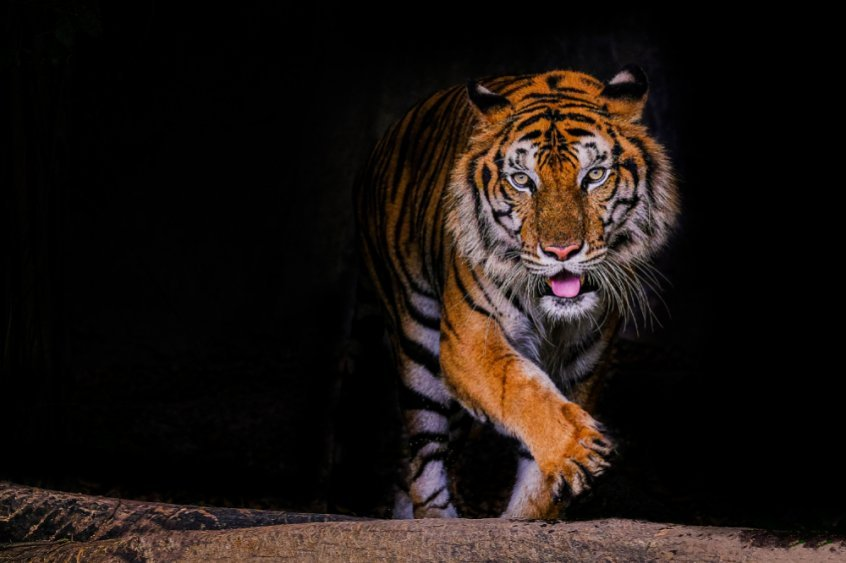 Are humans really omnivores - tiger roaring - Fruit-Powered