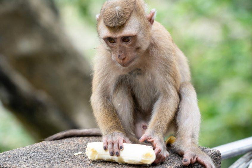 Are humans really omnivores - monkey eating banana - Fruit-Powered