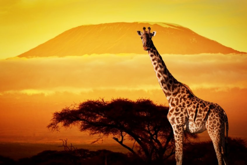 Make every day Earth Day to save the planet - giraffe at sunset - Fruit-Powered